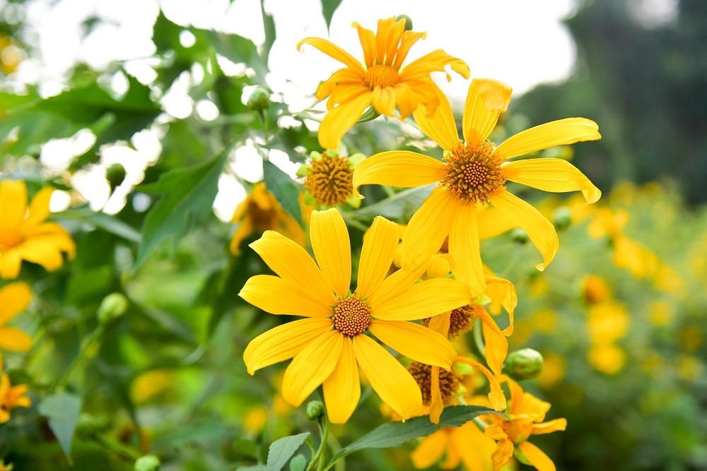 Ngắm trọn vẻ đẹp của hoa Dã Quỳ Ecopark
